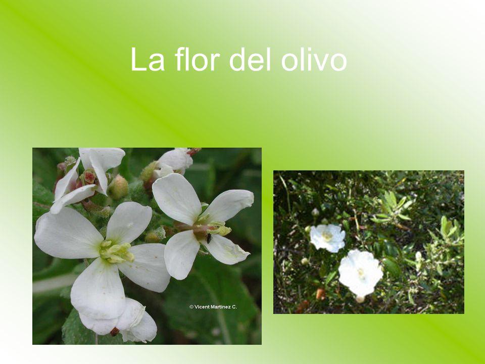La flor del olivo