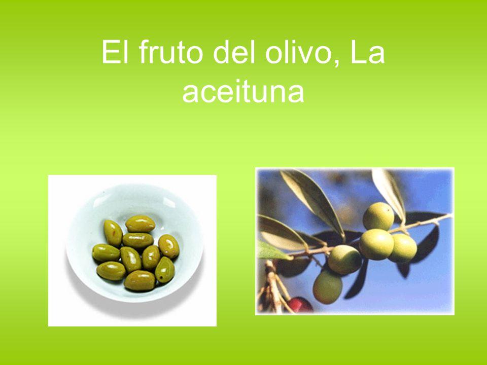 El fruto del olivo, La aceituna