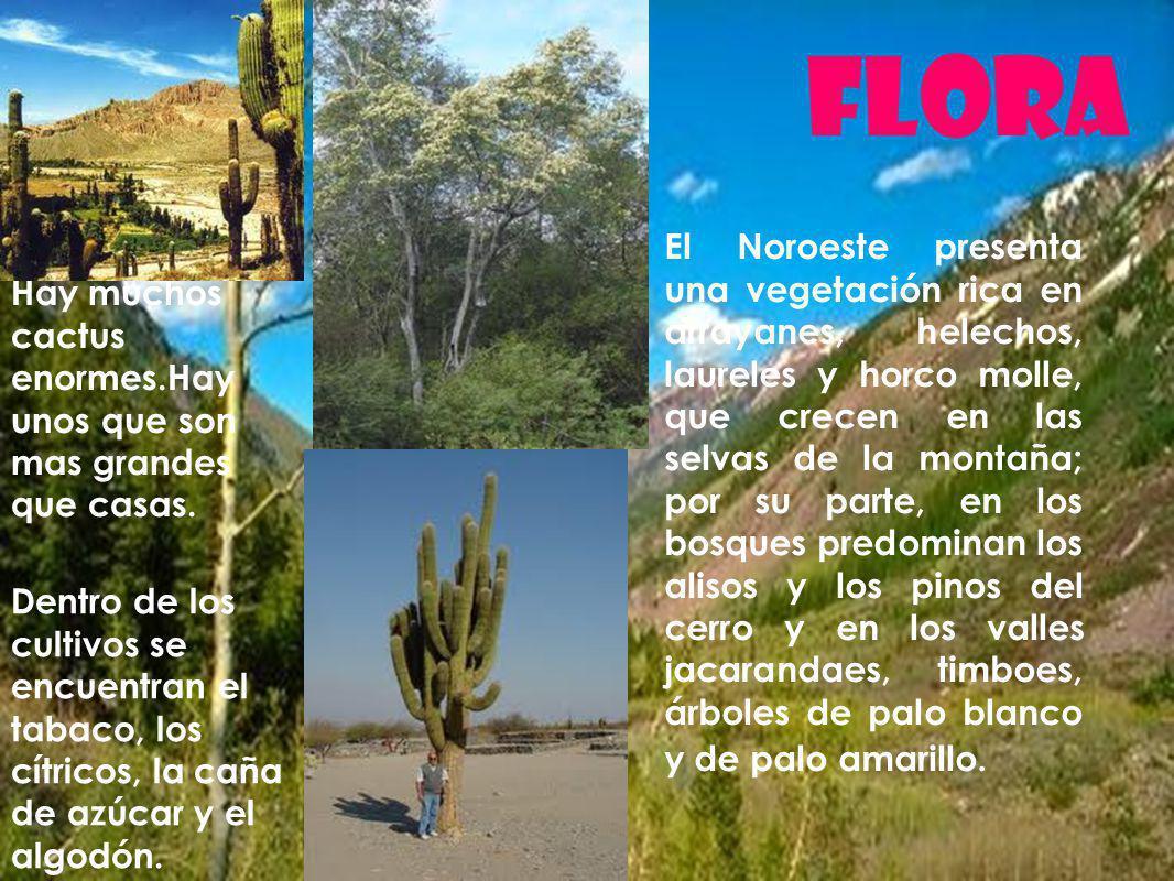 Flora Hay muchos cactus enormes.Hay unos que son mas grandes que casas. El Noroeste presenta una vegetación rica en arrayanes, helechos, laureles y ho