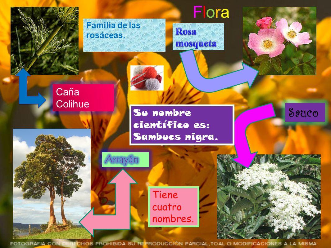 Flora Caña Colihue Sauco Tiene cuatro nombres. Su nombre científico es: Sambucs nigra. Familia de las rosáceas.