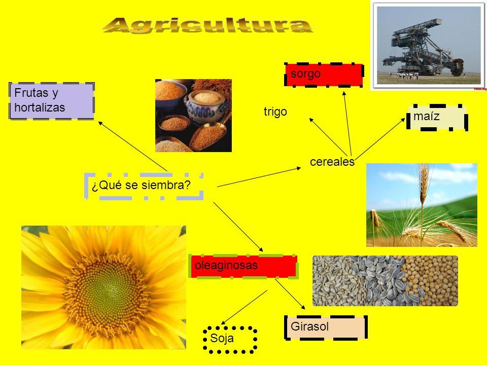 ¿Qué se siembra? oleaginosas Soja Girasol cereales trigo maíz sorgo Frutas y hortalizas