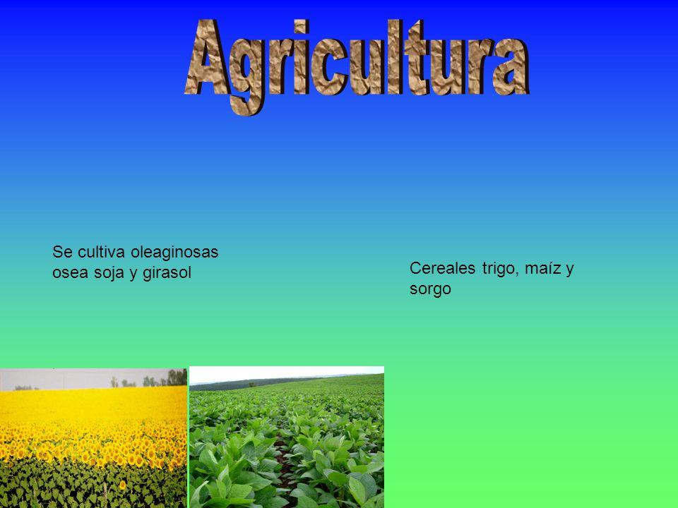 Se cultiva oleaginosas osea soja y girasol Cereales trigo, maíz y sorgo