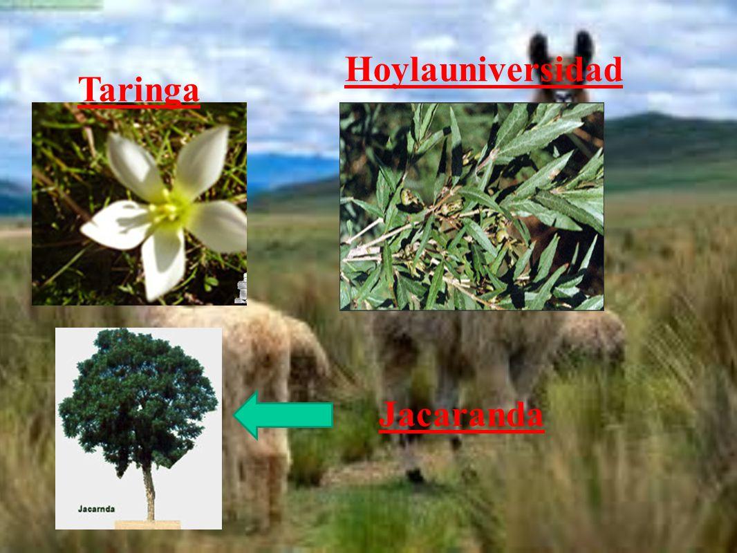 Taringa Hoylauniversidad Jacaranda