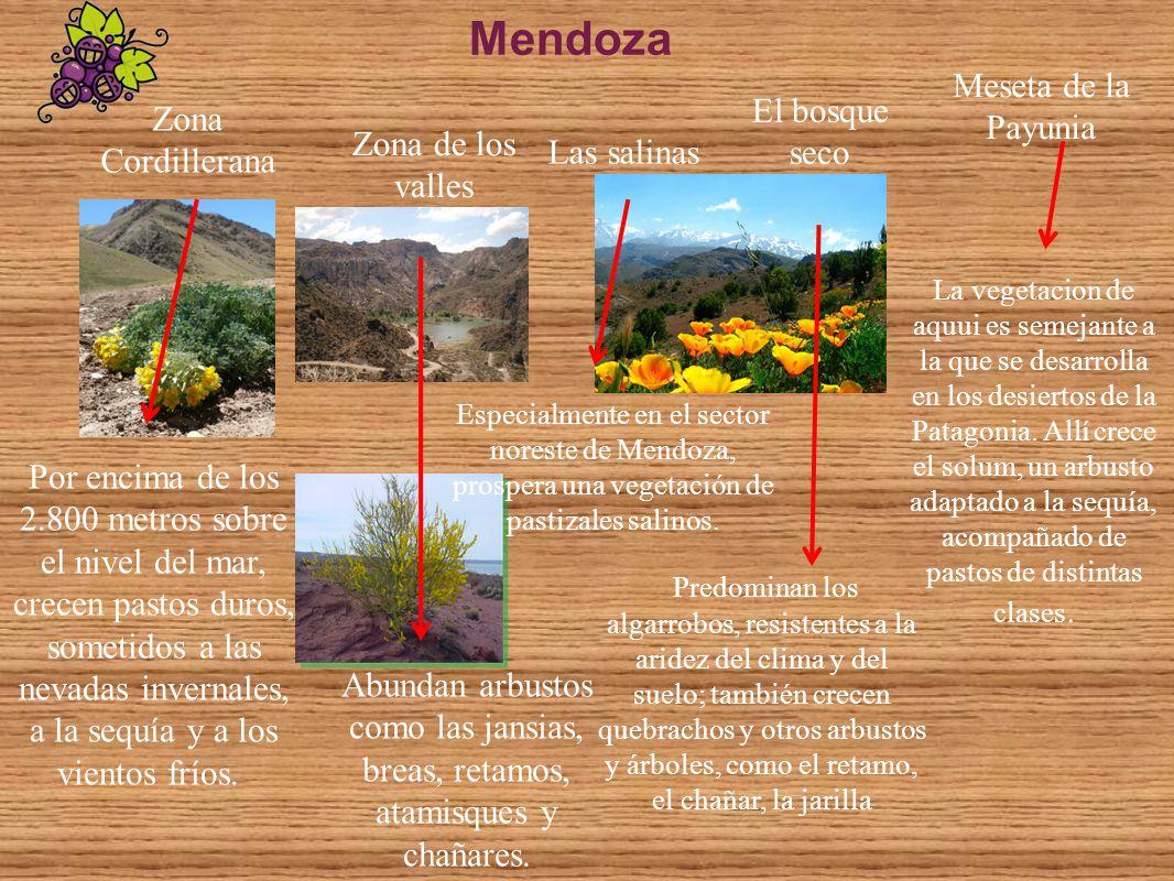 Mendoza Zona Cordillerana Zona de los valles Meseta de la Payunia Las salinas El bosque seco Predominan los algarrobos, resistentes a la aridez del cl