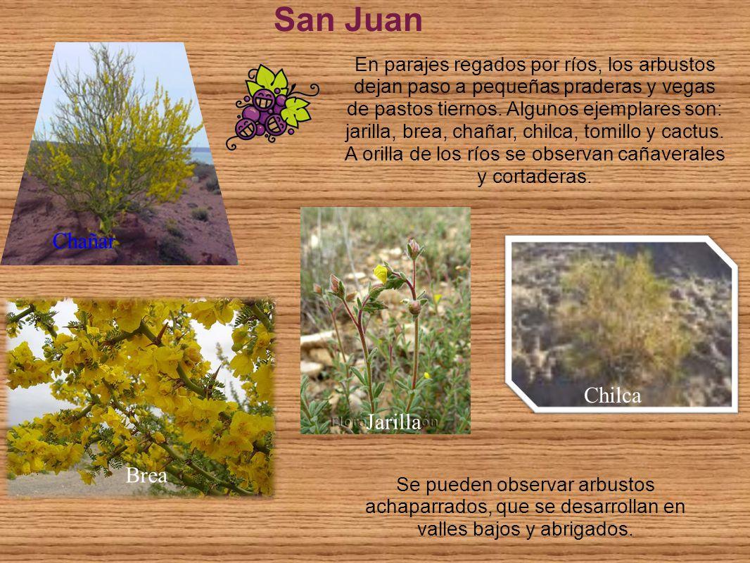 San Juan Se pueden observar arbustos achaparrados, que se desarrollan en valles bajos y abrigados. En parajes regados por ríos, los arbustos dejan pas