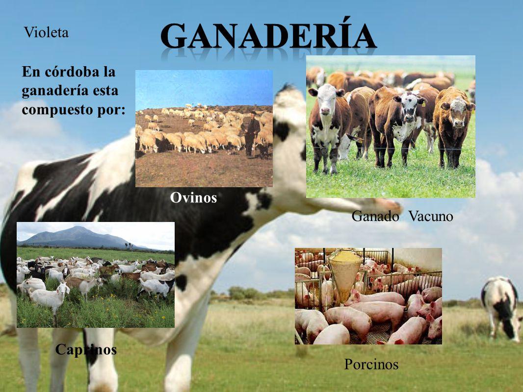 Violeta En córdoba la ganadería esta compuesto por: Ganado Vacuno Porcinos Ovinos Caprinos