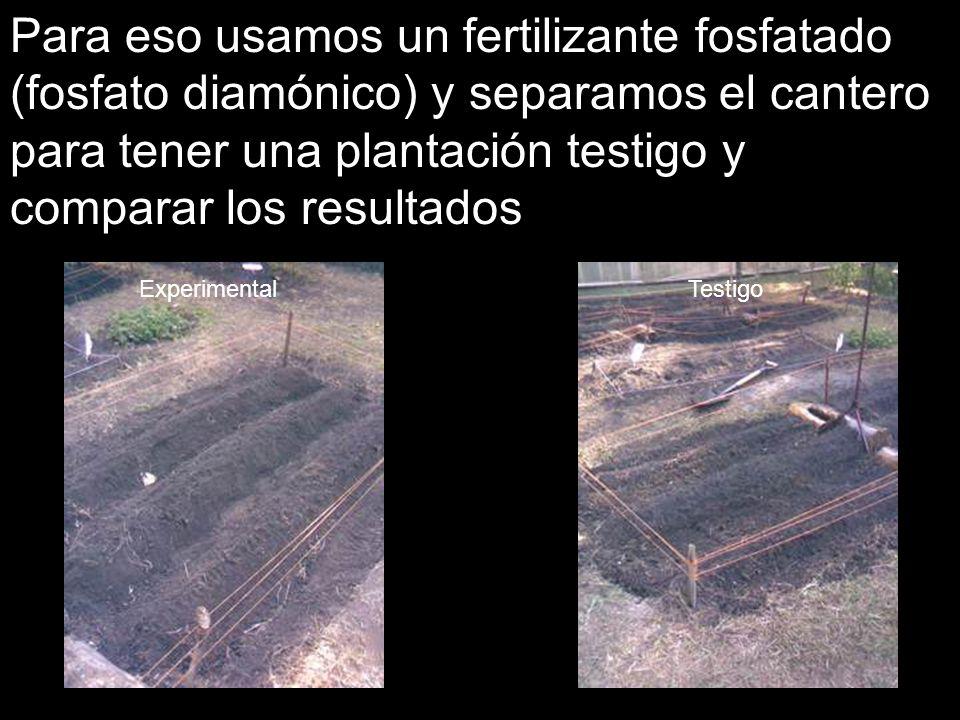 Para eso usamos un fertilizante fosfatado (fosfato diamónico) y separamos el cantero para tener una plantación testigo y comparar los resultados Exper