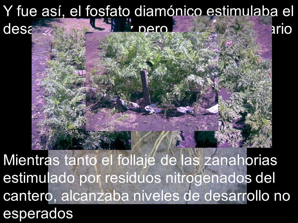 Y fue así, el fosfato diamónico estimulaba el desarrollo de la raíz pero a nivel secundario Mientras tanto el follaje de las zanahorias estimulado por