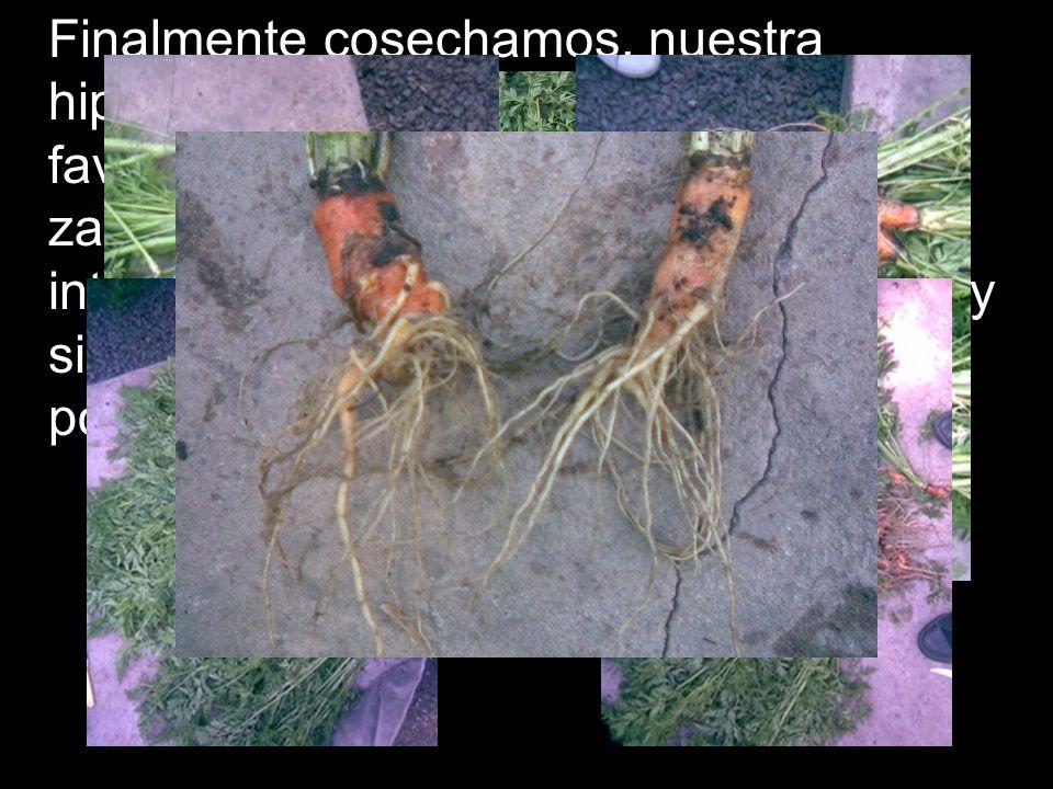 Finalmente cosechamos, nuestra hipótesis de que el fosfato diamónico favorece el desarrollo de la raíz de la zanahoria fue rechazada, así que si les i
