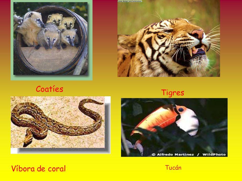 Coatíes Tigres Víbora de coral Tucán