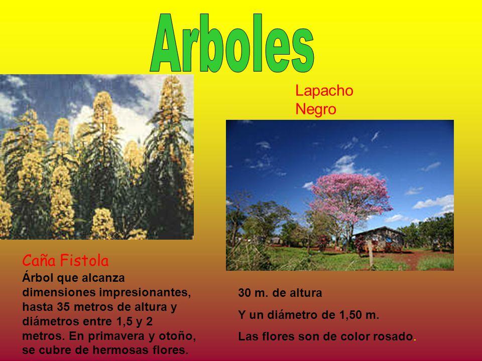 Caña Fistola Lapacho Negro 30 m. de altura Y un diámetro de 1,50 m. Las flores son de color rosado. Árbol que alcanza dimensiones impresionantes, hast