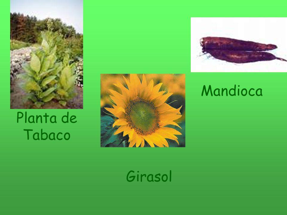 Planta de Tabaco Girasol Mandioca