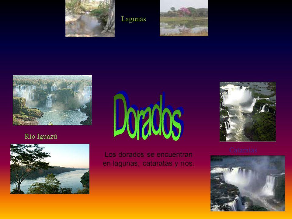 Los dorados se encuentran en lagunas, cataratas y ríos. Lagunas Cataratas Río Iguazú