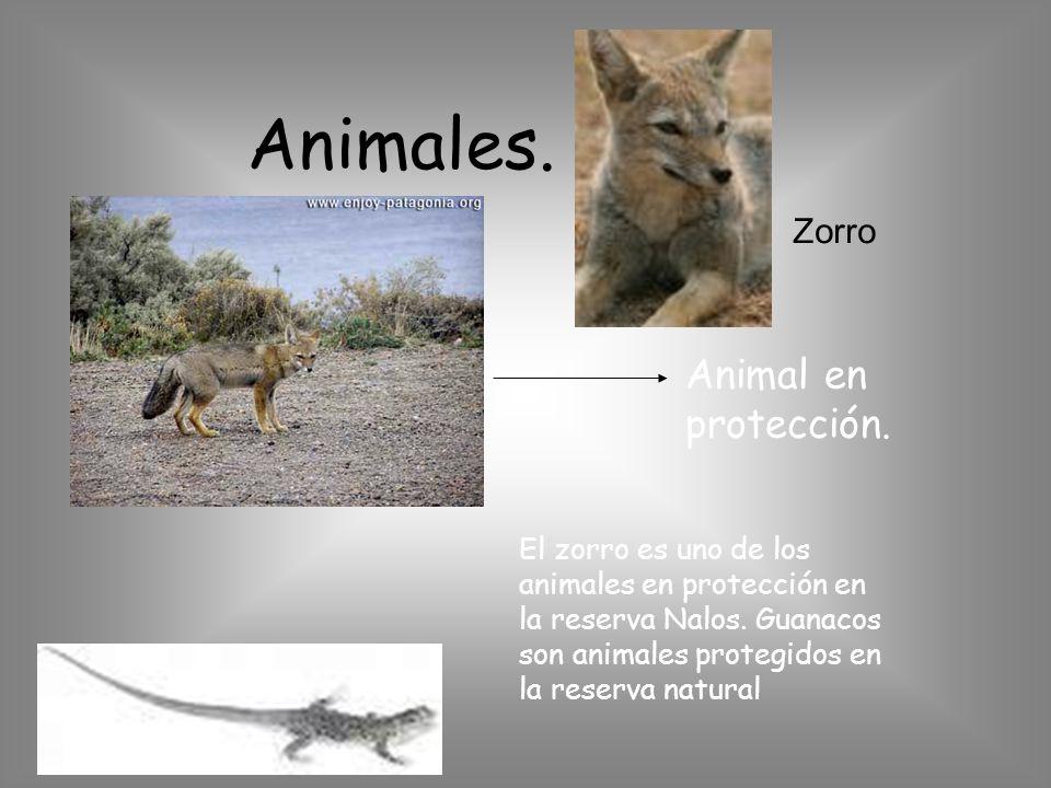 Animales. Animal en protección. Zorro El zorro es uno de los animales en protección en la reserva Nalos. Guanacos son animales protegidos en la reserv