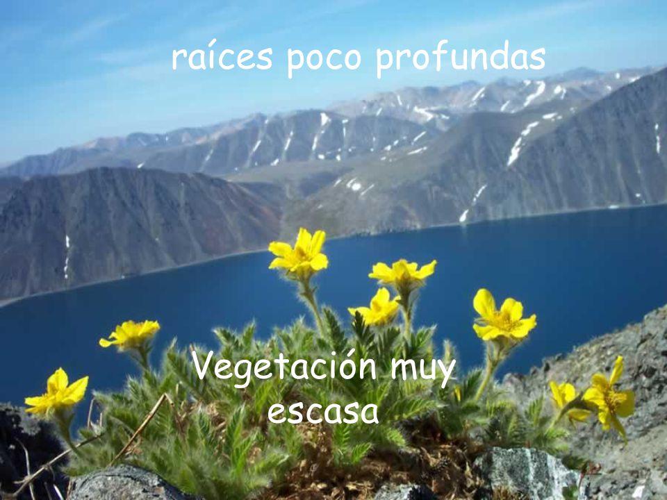 raíces poco profundas Vegetación muy escasa