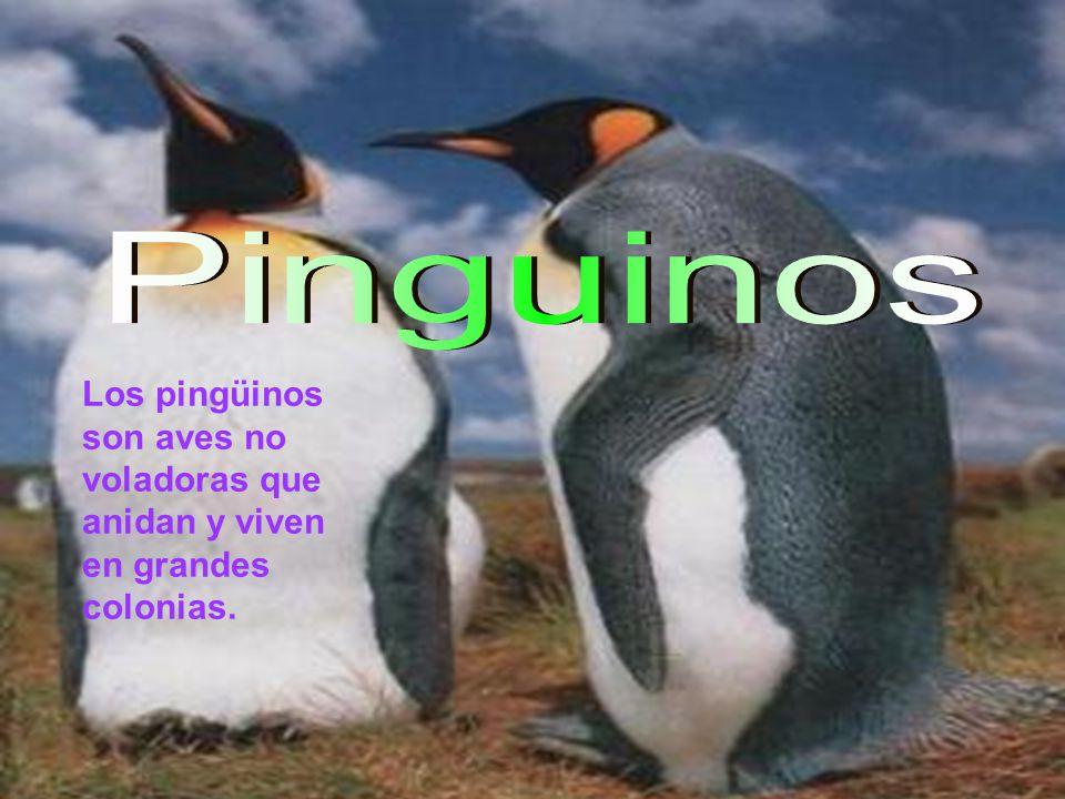 Los pingüinos son aves no voladoras que anidan y viven en grandes colonias.