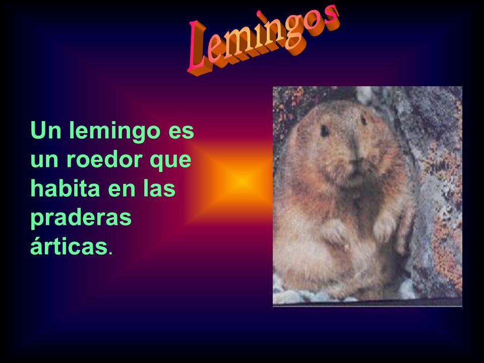 Un lemingo es un roedor que habita en las praderas árticas.
