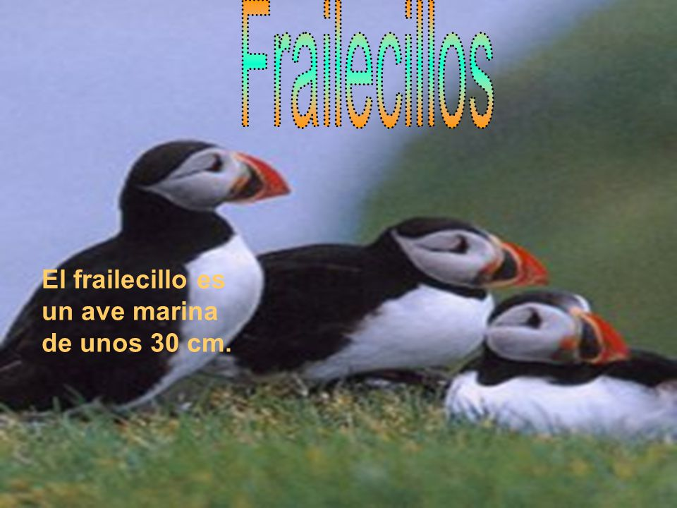 El frailecillo es un ave marina de unos 30 cm.
