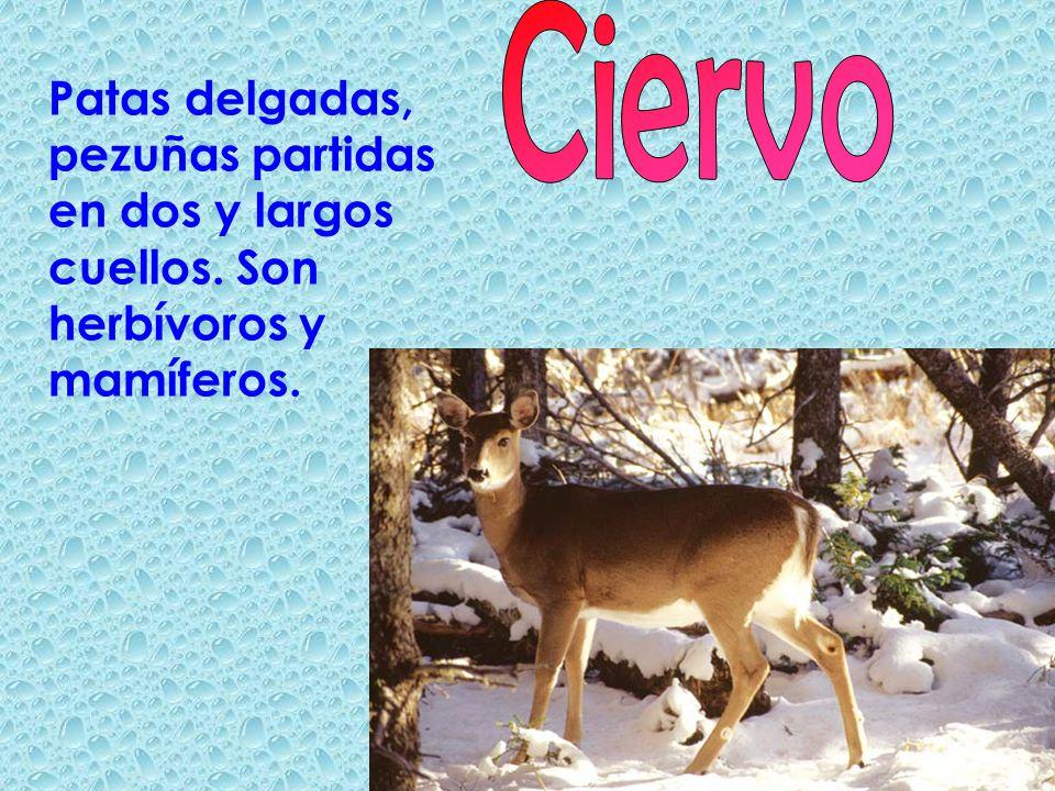 Patas delgadas, pezuñas partidas en dos y largos cuellos. Son herbívoros y mamíferos.