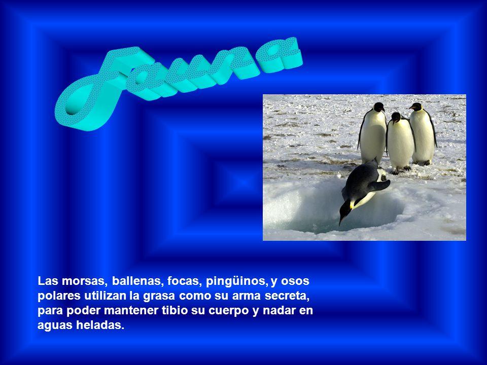 Las morsas, ballenas, focas, pingüinos, y osos polares utilizan la grasa como su arma secreta, para poder mantener tibio su cuerpo y nadar en aguas he