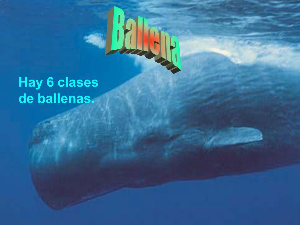 Hay 6 clases de ballenas.