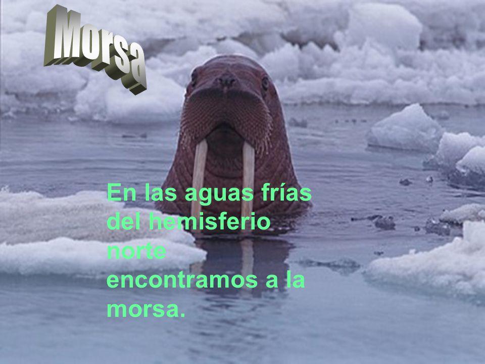En las aguas frías del hemisferio norte encontramos a la morsa.