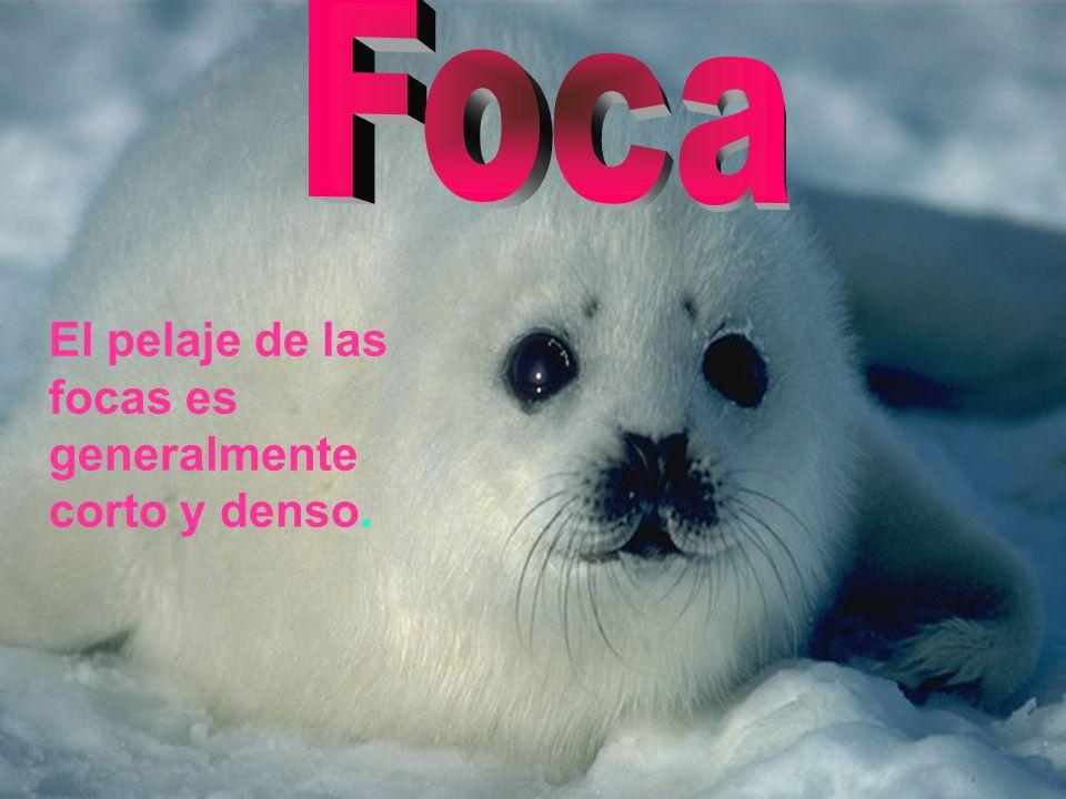 El pelaje de las focas es generalmente corto y denso.