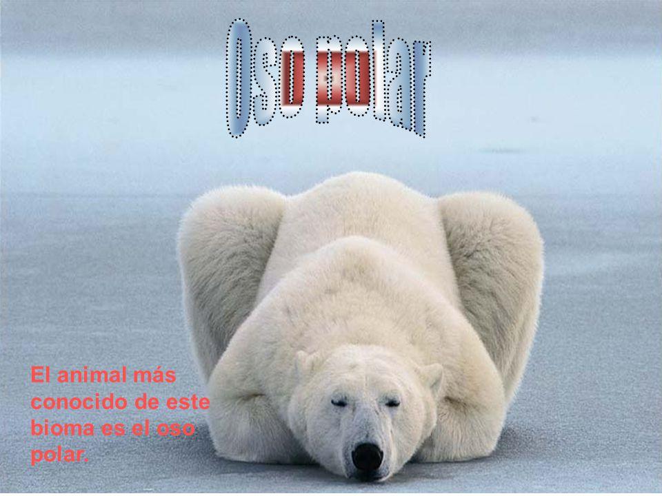 El animal más conocido de este bioma es el oso polar.