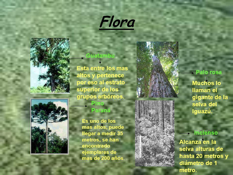 Flora Guatambu Palo rosa Pino Paraná incienso Esta entre los mas altos y pertenece por eso al estrato superior de los grupos arbóreos. Es uno de los m