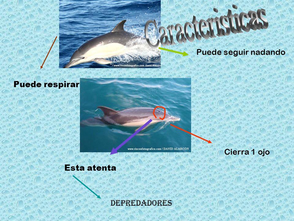 Cierra 1 ojo Esta atenta Puede seguir nadando Depredadores Puede respirar