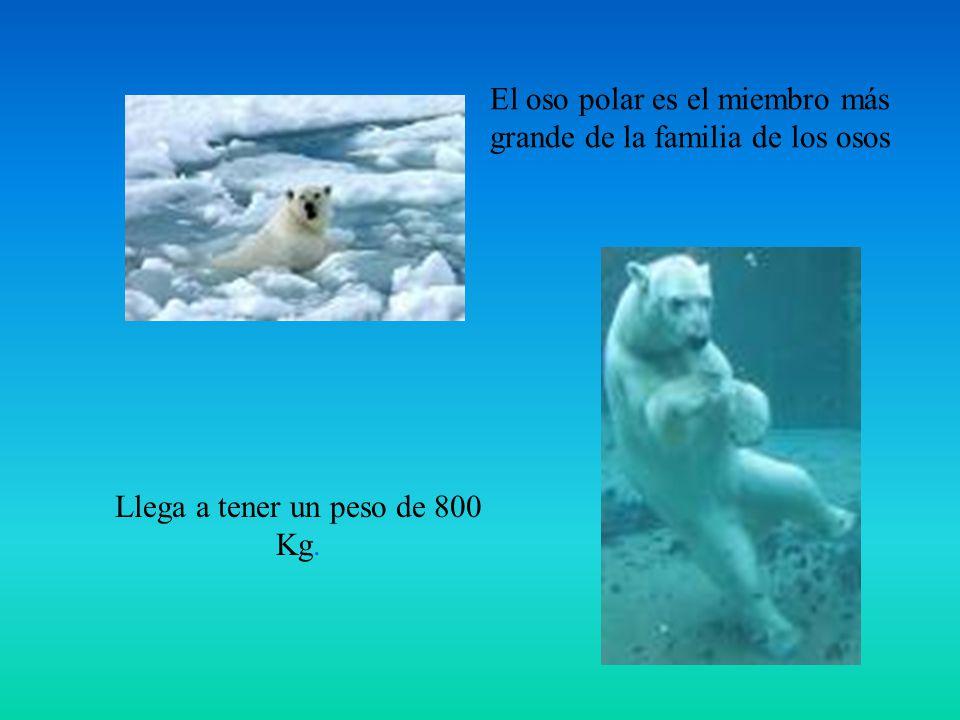 Llega a tener un peso de 800 Kg. El oso polar es el miembro más grande de la familia de los osos