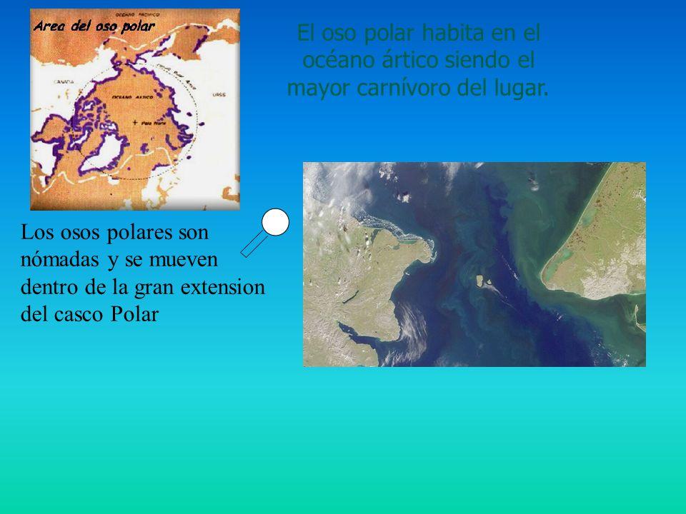 El oso polar habita en el océano ártico siendo el mayor carnívoro del lugar. Los osos polares son nómadas y se mueven dentro de la gran extension del