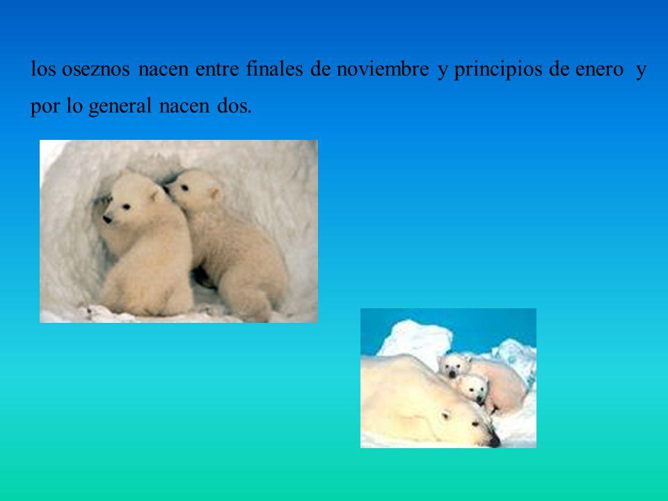 los oseznos nacen entre finales de noviembre y principios de enero y por lo general nacen dos.