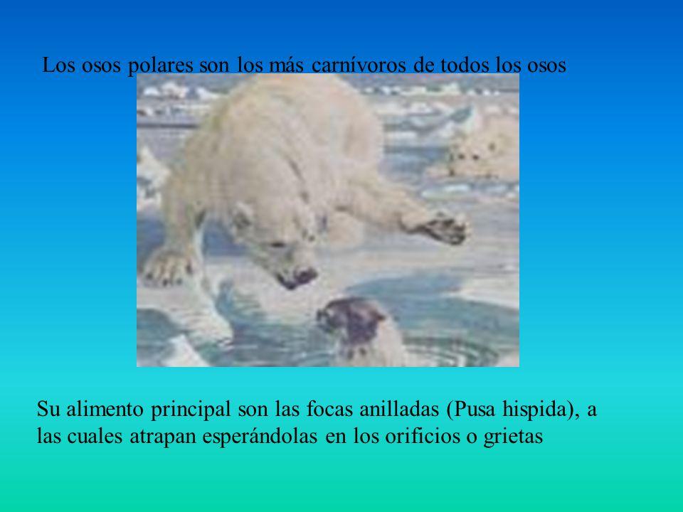 Los osos polares son los más carnívoros de todos los osos Su alimento principal son las focas anilladas (Pusa hispida), a las cuales atrapan esperándo