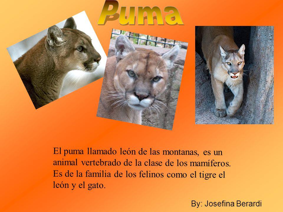El puma llamado león de las montanas, es un animal vertebrado de la clase de los mamíferos. Es de la familia de los felinos como el tigre el león y el