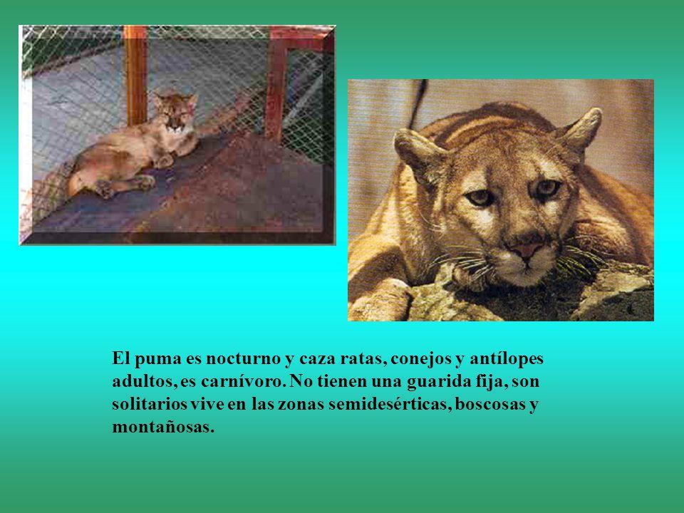 El puma es nocturno y caza ratas, conejos y antílopes adultos, es carnívoro. No tienen una guarida fija, son solitarios vive en las zonas semidesértic