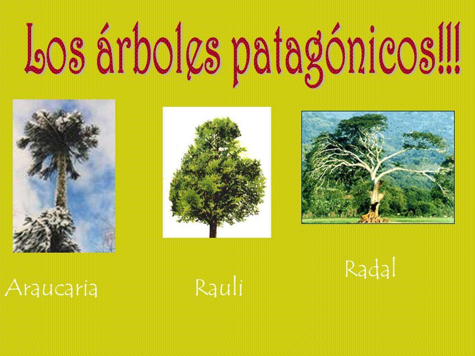 AraucariaRauli Radal