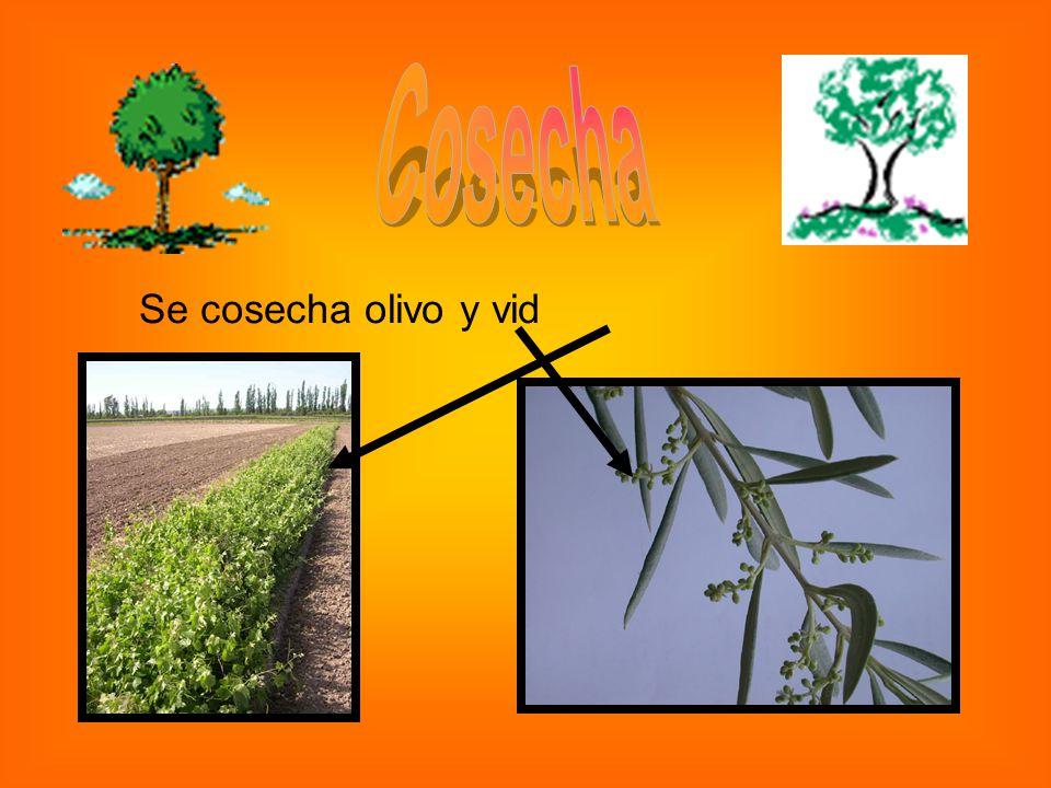 Se cosecha olivo y vid