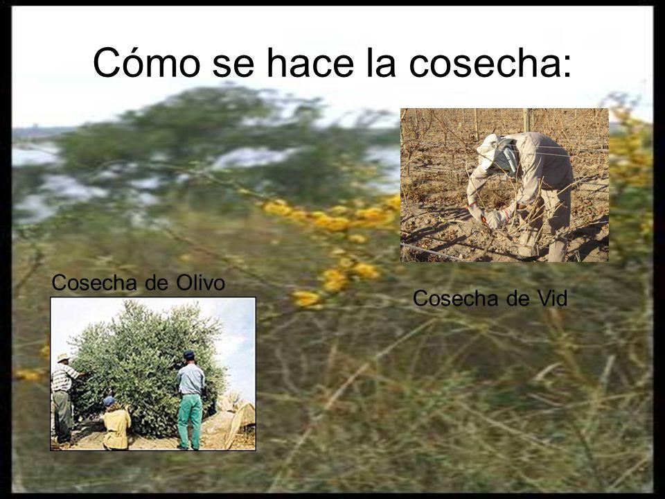 Cómo se hace la cosecha: Cosecha de Olivo Cosecha de Vid