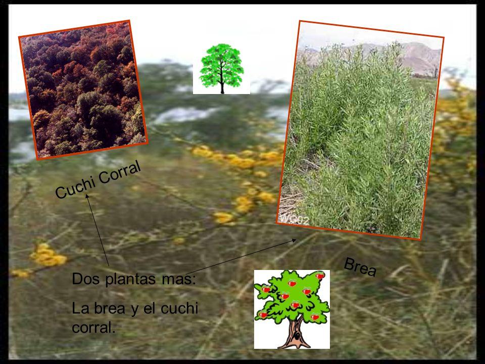 Cuchi Corral Dos plantas mas: La brea y el cuchi corral. Brea