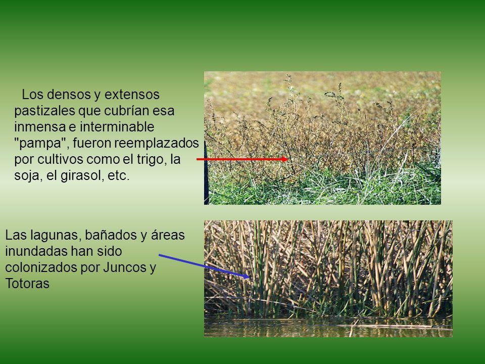 Los densos y extensos pastizales que cubrían esa inmensa e interminable pampa , fueron reemplazados por cultivos como el trigo, la soja, el girasol, etc.