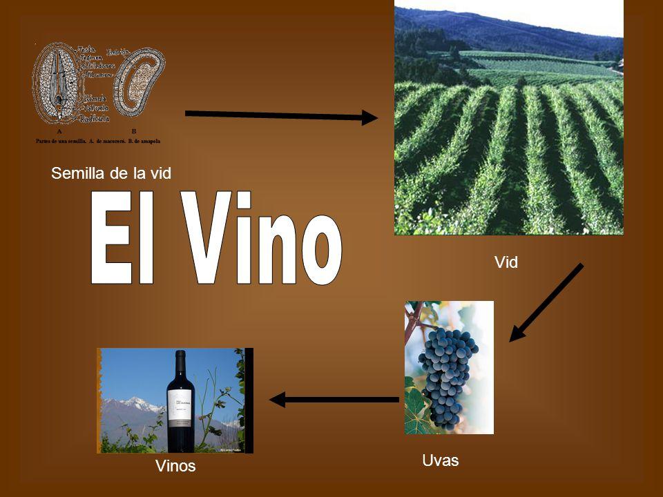 Vid Uvas Vinos Semilla de la vid