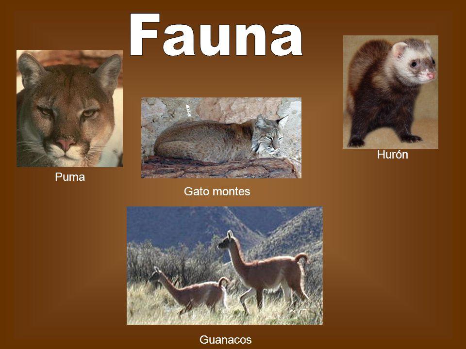 Gato montes Guanacos Hurón Puma