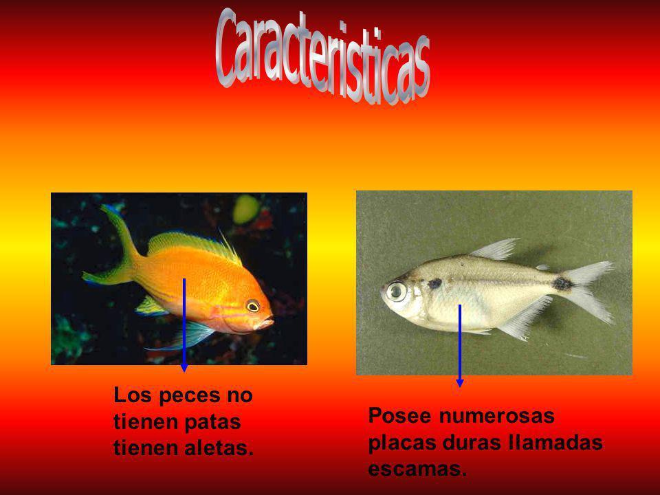 Los peces no tienen patas tienen aletas. Posee numerosas placas duras llamadas escamas.