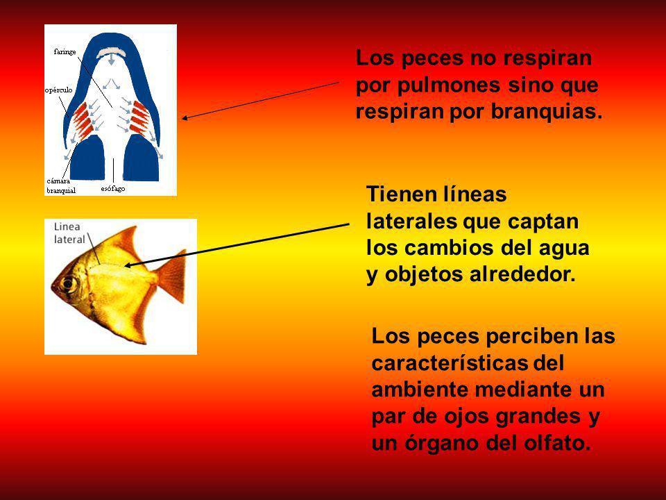 Los peces perciben las características del ambiente mediante un par de ojos grandes y un órgano del olfato.