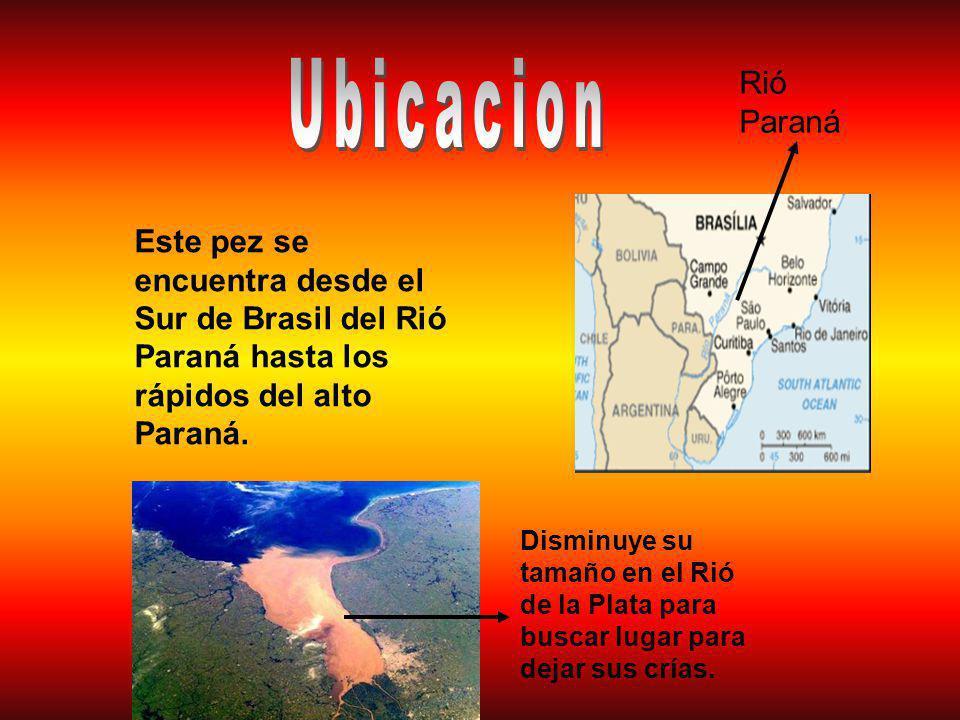 Rió Paraná Este pez se encuentra desde el Sur de Brasil del Rió Paraná hasta los rápidos del alto Paraná.