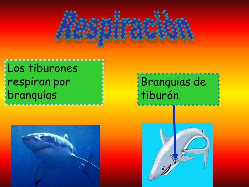 Los tiburones respiran por branquias Branquias de tiburón