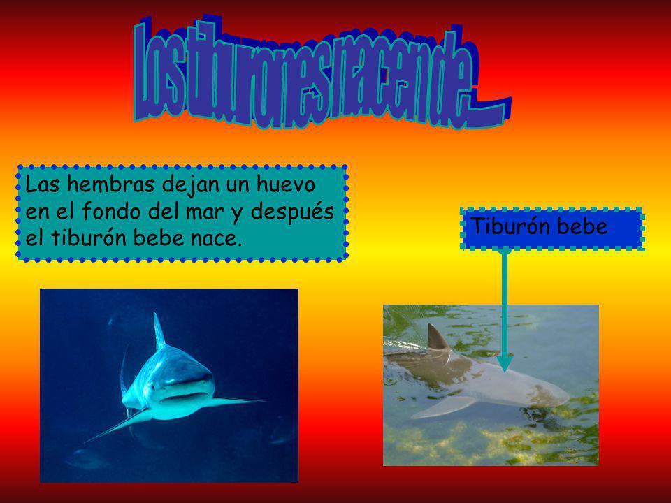 Las hembras dejan un huevo en el fondo del mar y después el tiburón bebe nace. Tiburón bebe