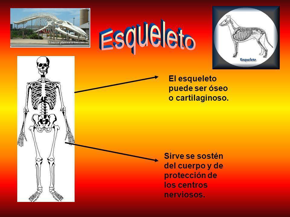 El esqueleto puede ser óseo o cartilaginoso.