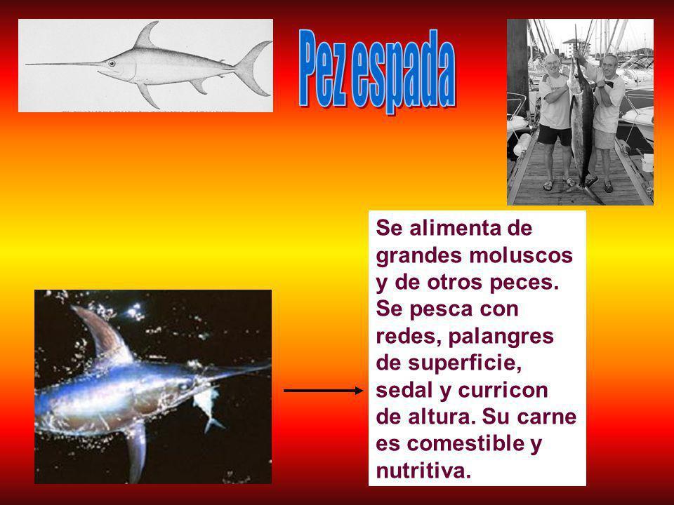 Se alimenta de grandes moluscos y de otros peces.